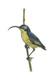 Wattled False Sunbird