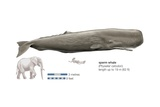 Sperm Whale (Physeter Catodon)