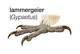 Foot of Lammergeier (Gypaetus Barbatus)