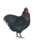 Orpington Rooster