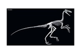 Skeleton of the Dinosaur Troodon  a Late Cretaceous Birdlike Predator with Large Eyes