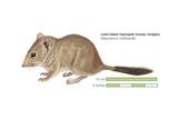 Mulgara or Crest-Tailed Marsupial Mouse (Dasycercus Cristicauda)