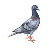 European Rock Dove