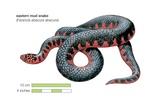 Eastern Mud Snake (Farancia Abacura Abacura)