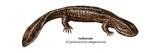 Hellbender (Cryptobranchus Alleganiensis)