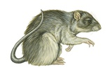 Common Domestic Rat