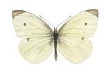 Cabbage Butterfly (Pieris Rapae)