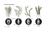 Principal Cereal Grains