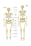 Skeleton of a Neanderthal (Homo Neanderthalensis) Compared with Skeleton of Modern Human