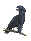 Long-Wattled Umbrellabird