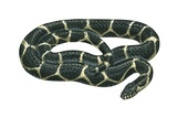 Common Kingsnake