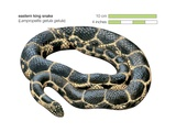 Eastern King Snake (Lampropeltis Getula Getula)
