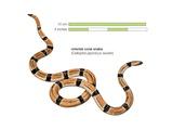 Oriental Coral Snake (Calliophis Japonicus Sauteri)