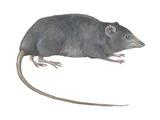 Rat Opossum