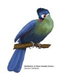 Hartlaub's or Blue-Crested Turaco (Tauraco Hartlaubi)