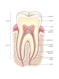 Adult Human Molar