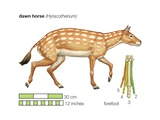 The Extinct Dawn Horse (Hyracotherium) Existing Toe Bones of the Forefoot are Numbered