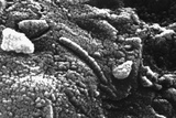 Photomicrograph of Martian Meteorite Alh84001