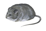 Selevin's Mouse