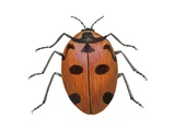 Nine-Spotted Beetle