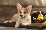 Cardigan Welsh Corgi Dog Breed