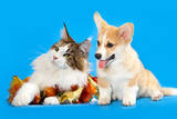 Cat and Dog  Cat Maine Coon and Corgi Puppy
