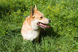 A Welsh Corgi Pembroke Dog in the Grass