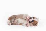 Puppy Welsh Corgi Pembroke