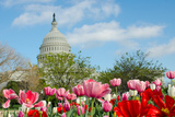 Tulips in Front of the Capitol Building in Spring  Washington DC