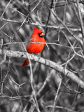 Northern Cardinal Bird on the Branch Papier Photo par SNEHITDESIGN