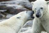 Polar Bears Sparring on Harbour Islands  Hudson Bay  Nunavut  Canada