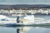 Bearded Seal on Sea Ice in Hudson Bay  Nunavut  Canada