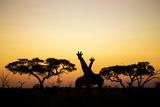 Giraffes at Dusk  Chobe National Park  Botswana