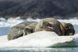 Walrus Sleeping on Ice in Hudson Bay  Nunavut  Canada