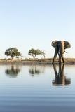 African Elephant  Chobe National Park  Botswana
