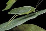 Katydid or Bush-Cricket or Long-Horned Grasshopper