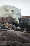 Polar Bear Sleeping along Hudson Bay  Nunavut  Canada