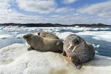 Walrus Resting on Ice in Hudson Bay  Nunavut  Canada