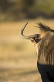 Wildebeest  Moremi Game Reserve  Botswana
