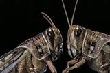 Schistocerca Gregaria (Desert Locust) - Portrait