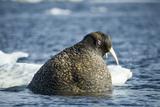 Walrus and Sea Ice in Hudson Bay  Nunavut  Canada