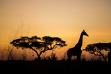 Giraffe at Dusk  Chobe National Park  Botswana