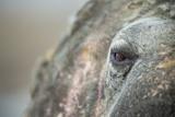 Close-Up of Walrus Eye  Hudson Bay  Nunavut  Canada