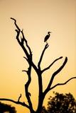 Egret  Savuti Marsh  Chobe National Park  Botswana