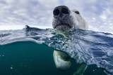 Underwater Polar Bear by Harbour Islands  Nunavut  Canada