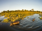 Aerial View of Hippopotamus at Sunset  Moremi Game Reserve  Botswana