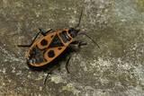 Pyrrhocoris Apterus (Firebug)