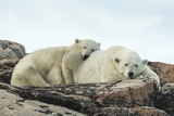 Polar Bear and Cub Resting along Hudson Bay  Nunavut  Canada