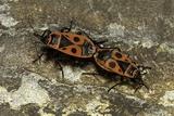 Pyrrhocoris Apterus (Firebug) Mating