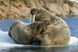 Walrus and Calf in Hudson Bay  Nunavut  Canada
